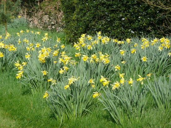 Griesemount House: Daffs in full bloom