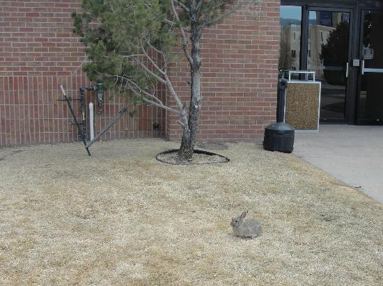 The Academy Hotel Colorado Springs: One of the rabbits we saw outside the hotel