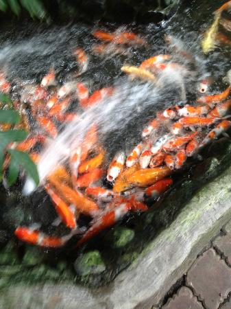 Grand Barong Resort : fish pond