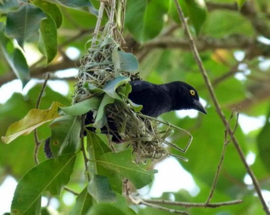 Bigodi Wetlands Sanctuary: Weaver