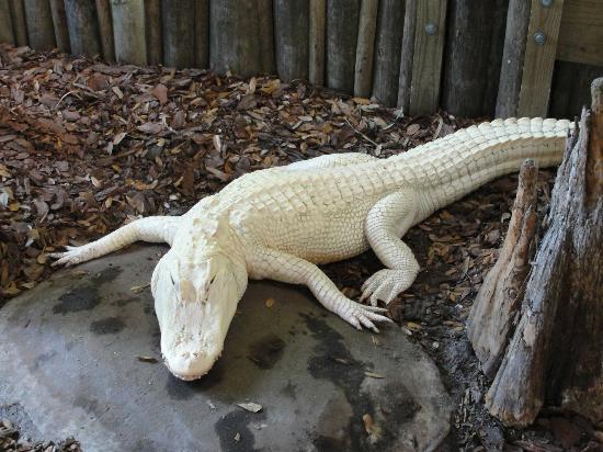 St. Augustine Alligator Farm Zoological Park: Albino Alligator