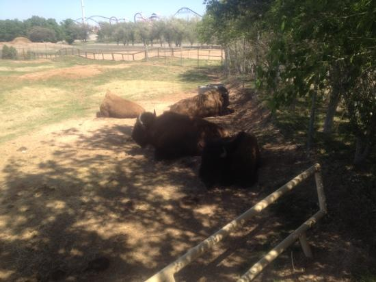 Amarillo Zoo: bison