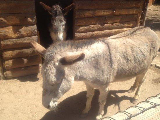 Amarillo, تكساس: donkey