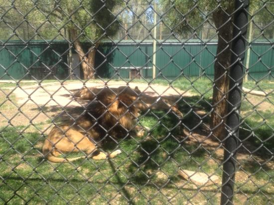 Amarillo, TX: lions