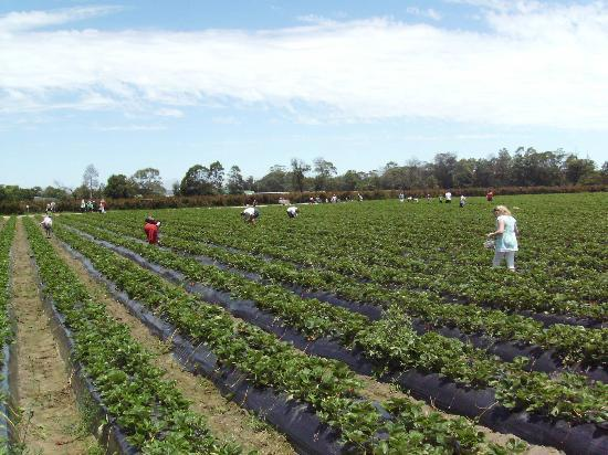 Redberry Farm: Strawberry fields