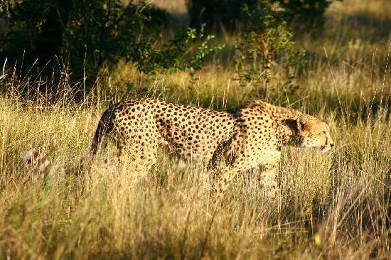 Fifty Seven Waterberg: Cheetah