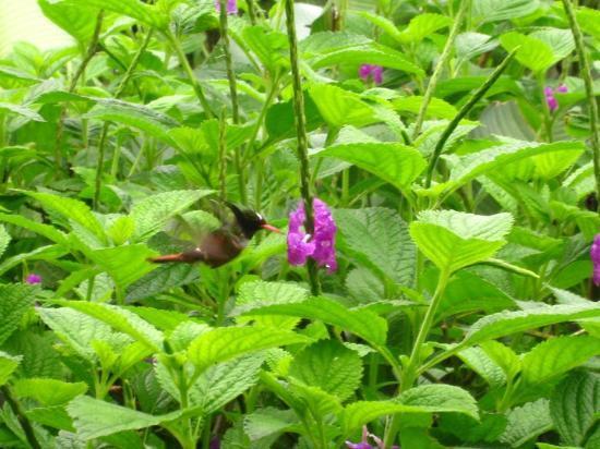 Casa Pequena : este micro colibri frecuenta una
