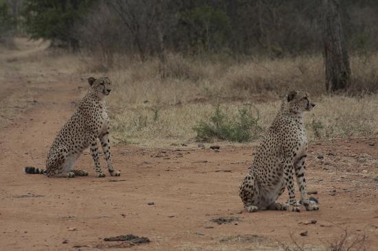 Makutsi Safari Springs: Cheetah Brothers