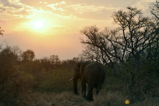 Makutsi Safari Springs: Elephant at sunset