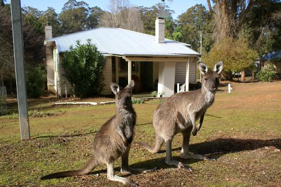 Donnelly River Village: Kangaroos at the back of #23 - not scared at all!