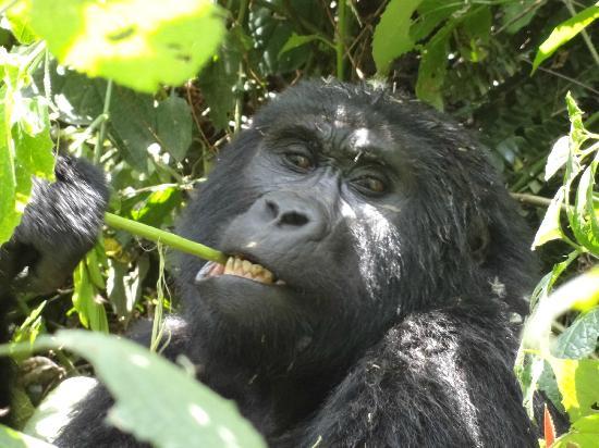 The Buhoma Community Rest Camp: Gorilla (Fam. Habinyanja)