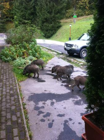 Hotel Boboty: wild-boars in front of hotel, tha'ts cool :o))