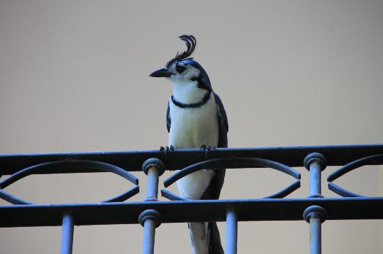 Pininos Adventures: The Costa Rican Blue Jay