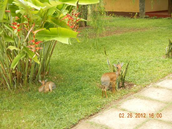 Arumeru River Lodge: Dik-Diks on the grounds