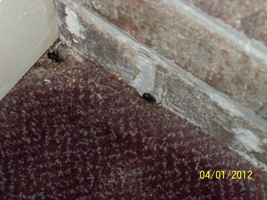 Travelodge Williamsburg Central: Two dead roaches