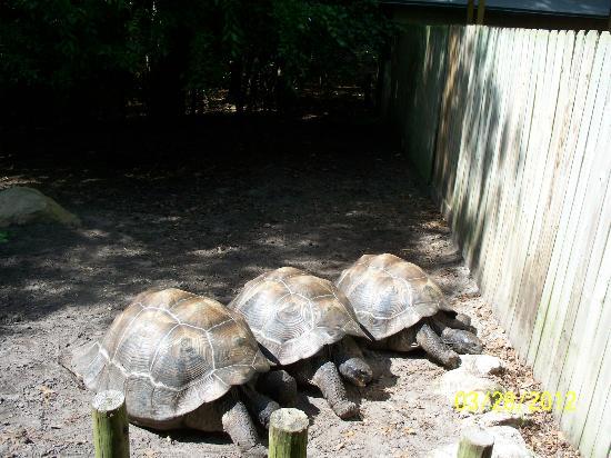 Santa Fe College Teaching Zoo: Tortoise