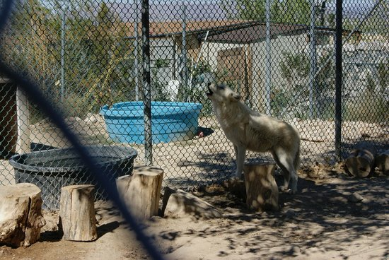 Wolf Mountain Sanctuary: sing your song, beautiful wolf!