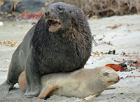 Sea lions mating - photo#13