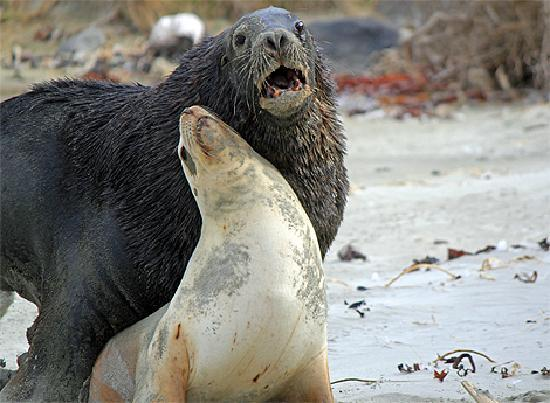 Sea lions mating - photo#10