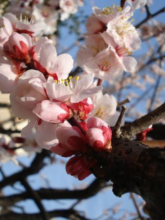 Nikaryouyousui : 早めの桜です