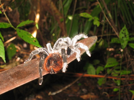 Barebones Tours Day And Night Taranchula In Jungle On Percys Machette