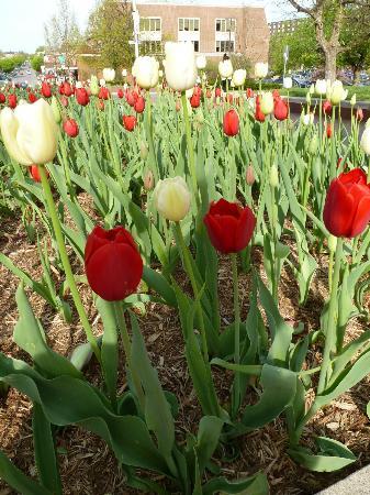 Bloomington, IN: Hoosier Tulips on the campus of IU
