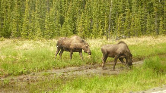 Great Alaska Adventure Lodge: Moose!