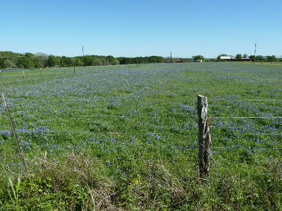 Brenham House Bed and Breakfast: Bluebonnets