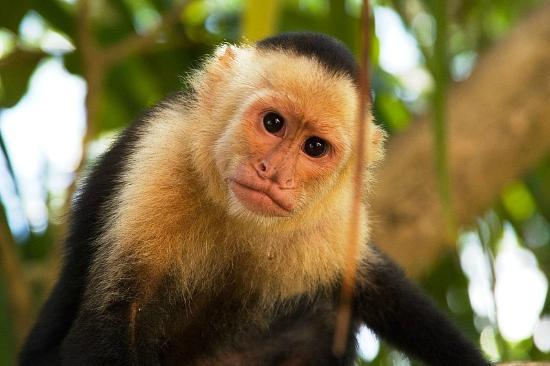 Província de Guanacaste, Costa Rica: Cappuchin monkey