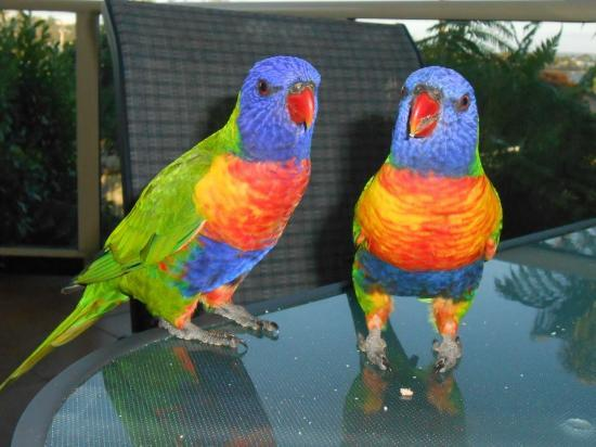 Baywatch Luxury Apartments: these beautiful birds visited our balcony everyday and allowed us to feed them by hand