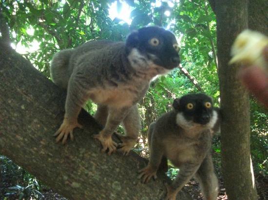 Orangea Village : i lemuri