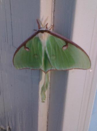 Sky-Vue Lodge Bed and Breakfast: Huge Luna moth perched on our door frame