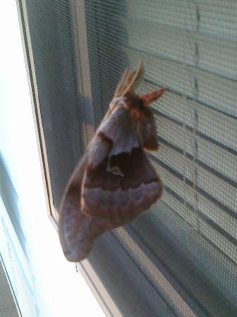 Sky-Vue Lodge Bed and Breakfast: Springtime Sphynx (?) moth