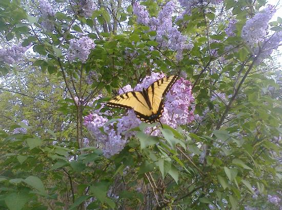 Sky-Vue Lodge Bed and Breakfast: Springtime Swallowtail butterfly feasting on lilacs