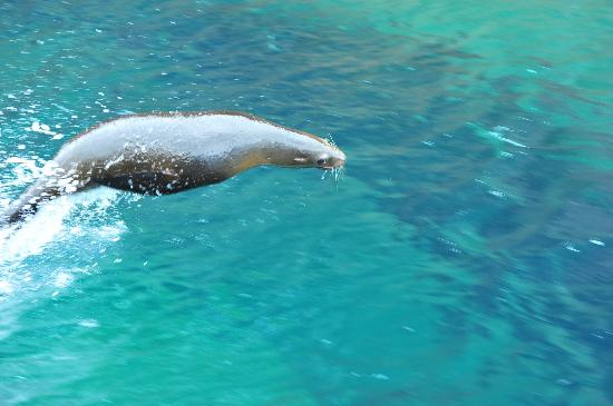 Posada LunaSol Hotel: Piccolo leone marino da corsa-Isla Espiritu Santo