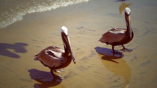 Decameron Los Cocos: Pelícanos en la playa del hotel