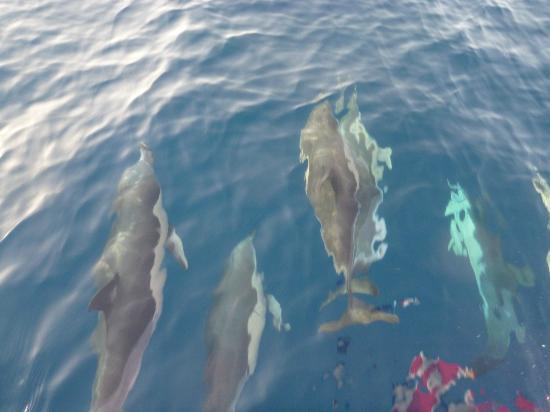 Valle Gran Rey, Spanien: Gewöhnliche Delfine an der Bugwelle auf einer Ausfahrt