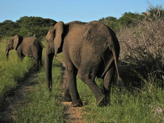 Tembe Elephant Park Accommodation: Elefantenwanderung
