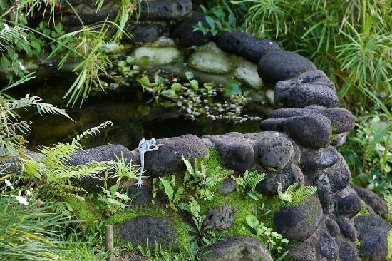 Waipio Rim : lily pond