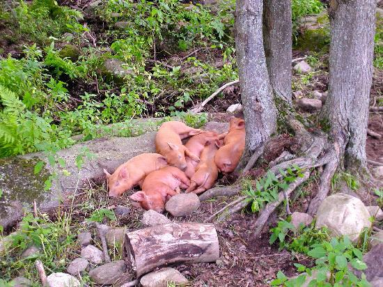 The Inn at East Hill Farm: a pile of new pigs