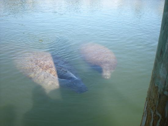 Bay Palms Waterfront Resort - Hotel and Marina: Manatee with baby