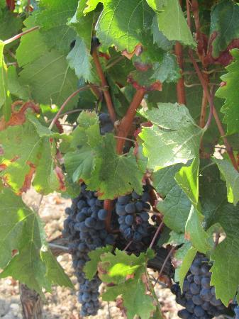 Santa Maria a Poneta: Tuscan Vineyard