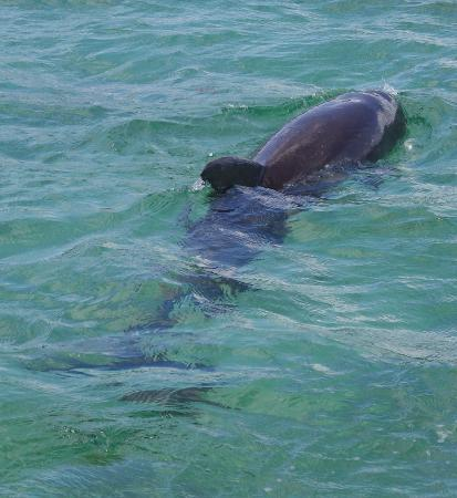 Abaco Inn: One of two dolphin dancing in front of our boat