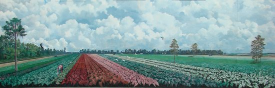 Lake Placid, FL: Caladium Fields