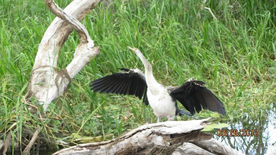 Kakadu National Park, Australien: The performing bird