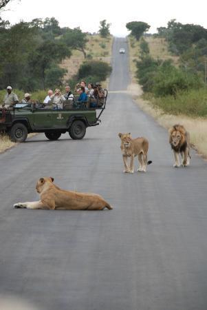 Umlani Bushcamp: lions on the road
