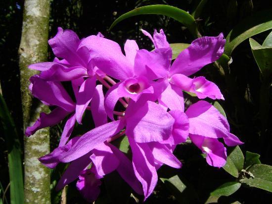 Санта-Елена, Коста-Рика: Flor nacional de Costa Rica