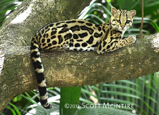 Blue Spirit: Margay