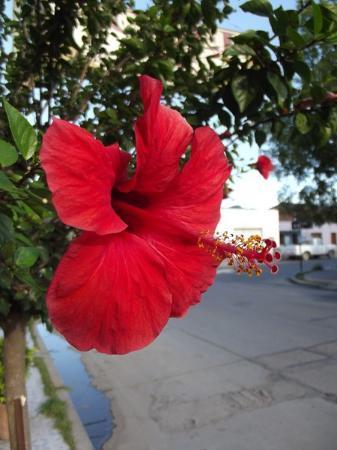 Hotel Iris: Hibiscus sur le trottoir devant l'hôtel Iris à Salta