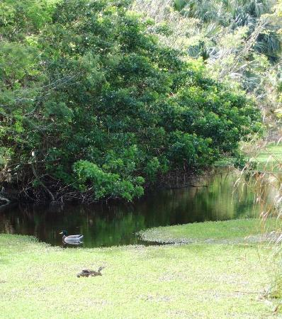 Paget, Bermuda: ducks in the spring swamp